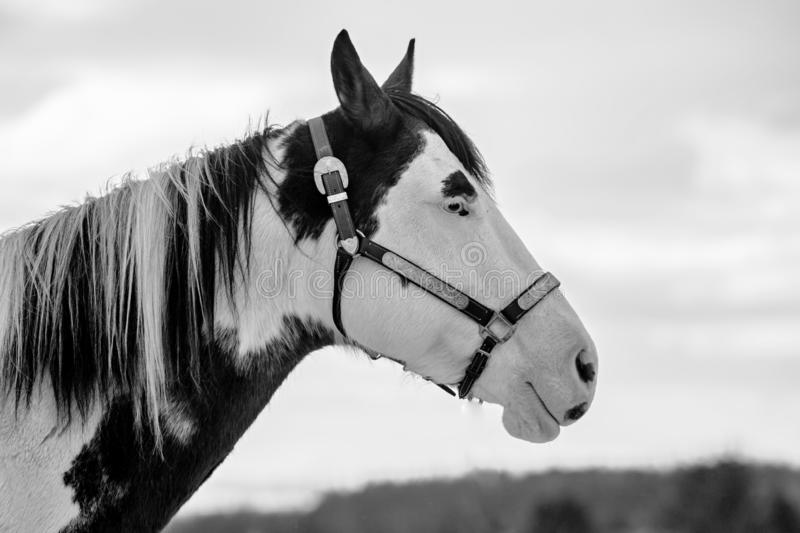 In profile black and white portrait of beautiful white and black horse royalty free stock photos