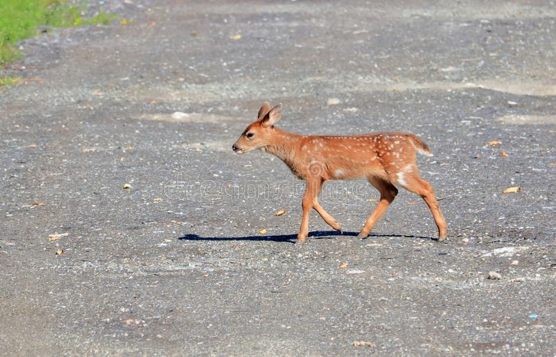Profile Blacktail Fawn on Road stock images