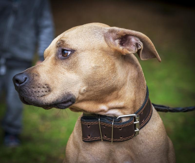 Profile brown American pit bull terrier royalty free stock photography