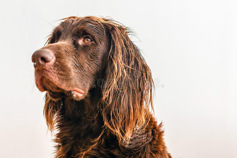 Profile of brown dog stock photo