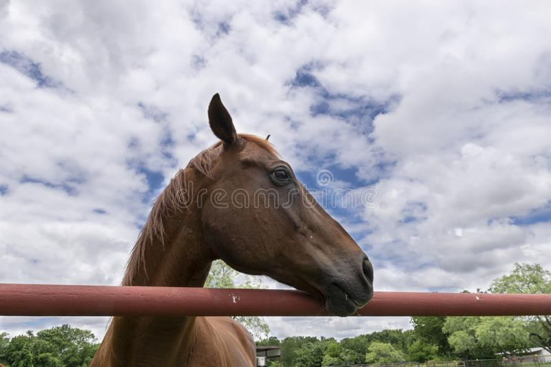 Profile of Brown Horse looking over a metal pipe fence royalty free stock images