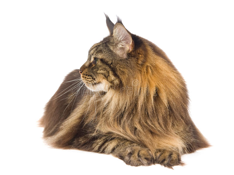 Profile of brown tabby Maine Coon royalty free stock image