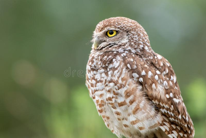 Profile of a burrowing owl royalty free stock photography