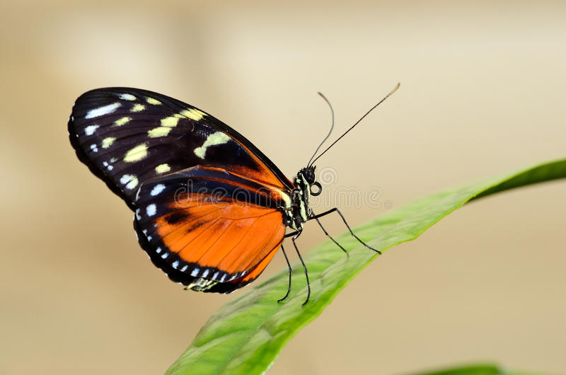 Profile of a butterfly on a leaf royalty free stock image