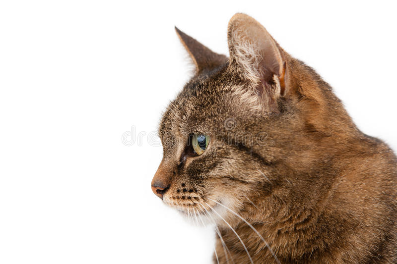 Profile of a cat. A tabby house cat, isolated on a white background, looks off into the distance royalty free stock photo