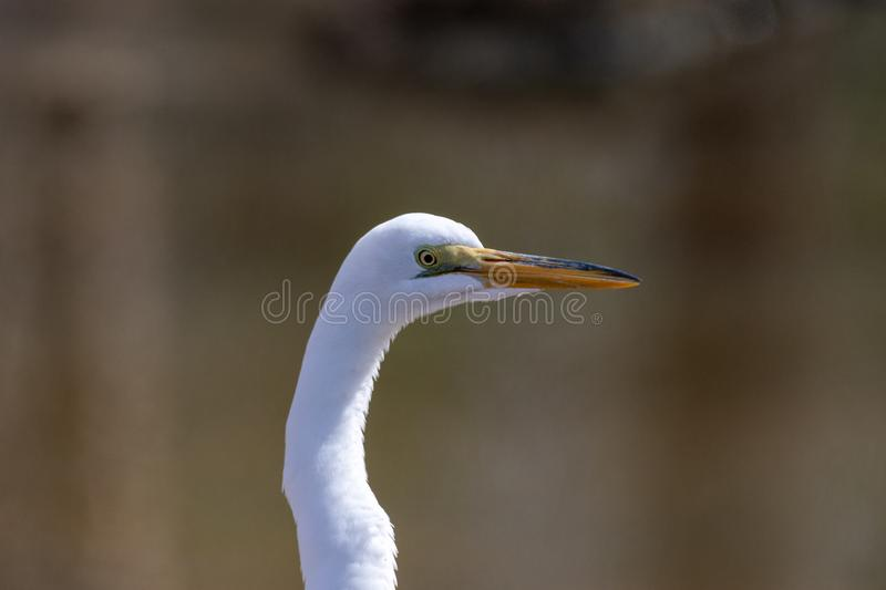 A closeup of a Great Egret looking into the distance. A profile closeup of a Great Egret looking off into the distance royalty free stock images