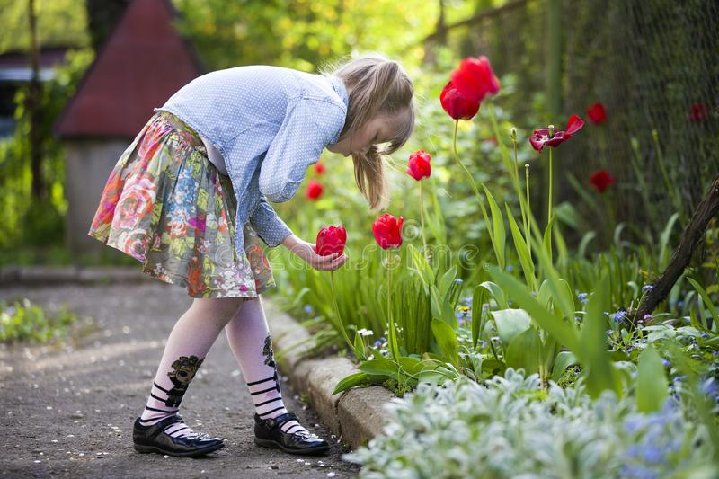 Profile of cute pretty child girl outdoor at flower bed looking at bright red tulip on sunny summer or spring day royalty free stock photos