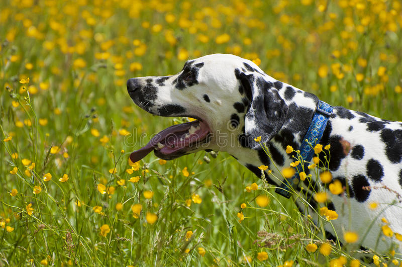 Profile Dalmatian stock photography