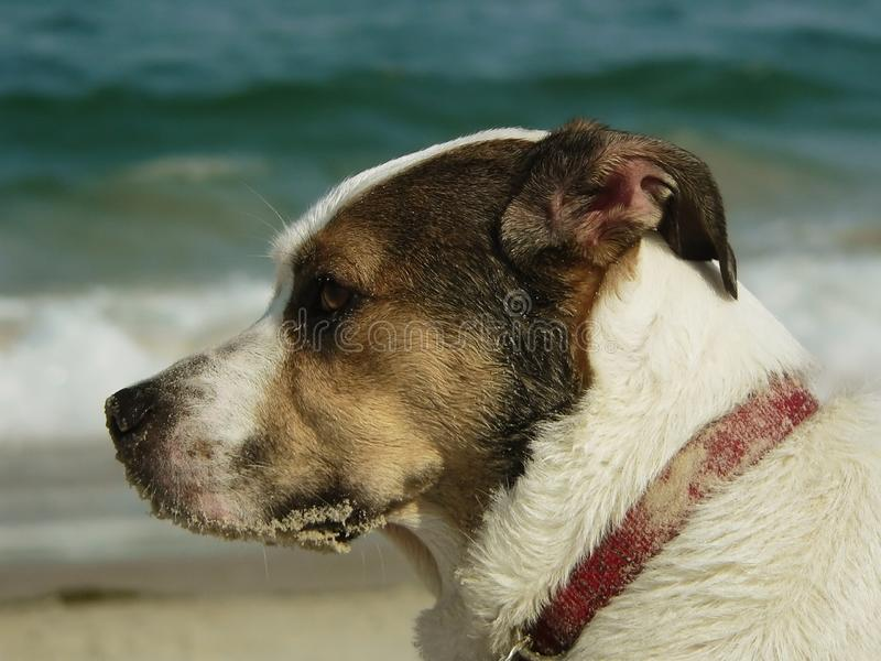 Profile Of A Dog's Face At The Beach Stock Image