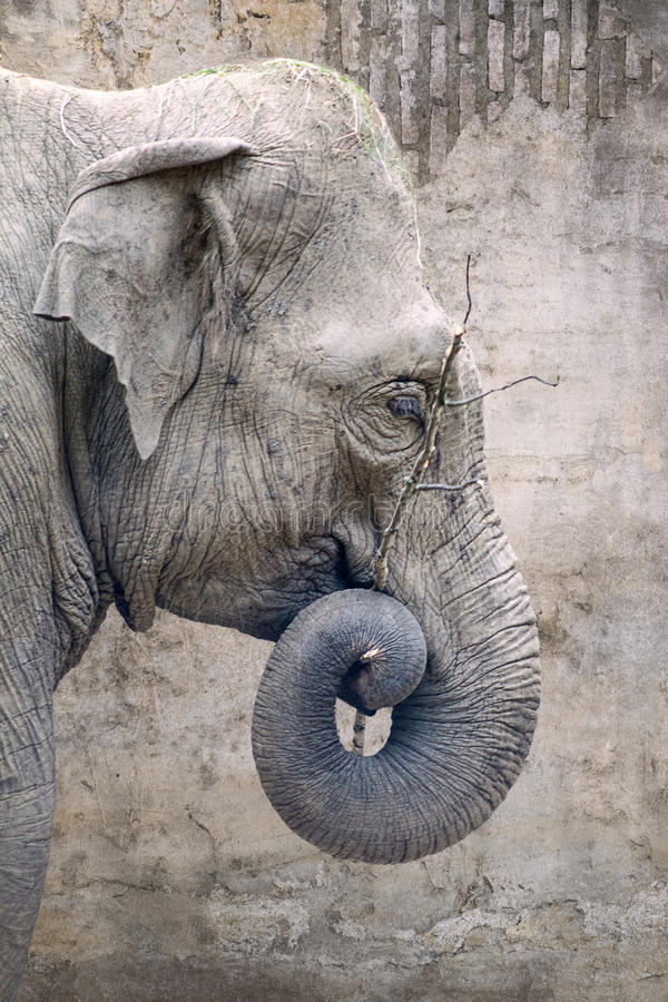 Free Profile Elephant Portrait With A Rolled Elephant Trunk On Old Wall Background. Royalty Free Stock Photo - 96266875