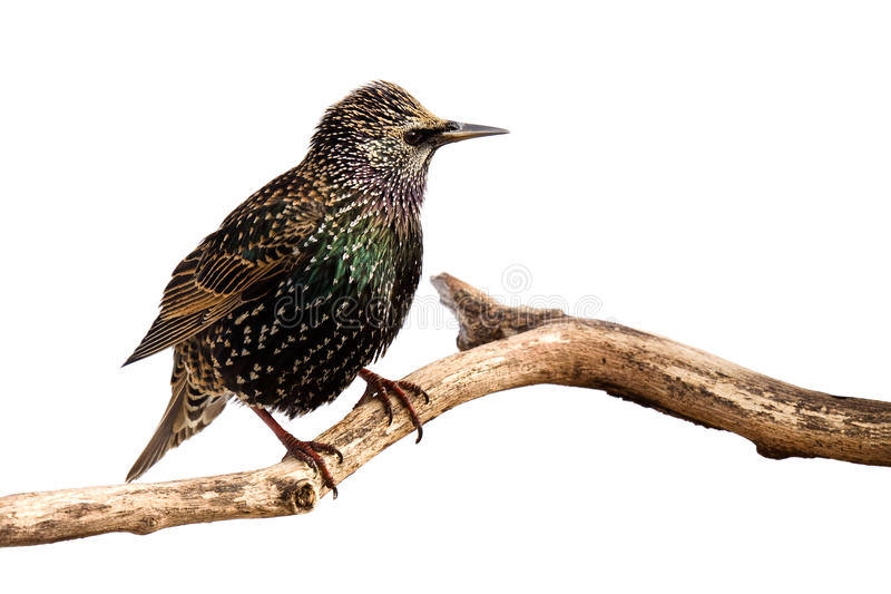 Profile of a european starling