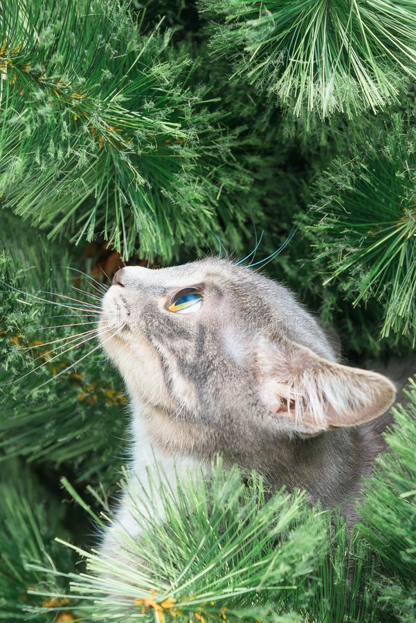 Profile funny gray kitten climbed onto Christmas tree. New year. Theme stock photography