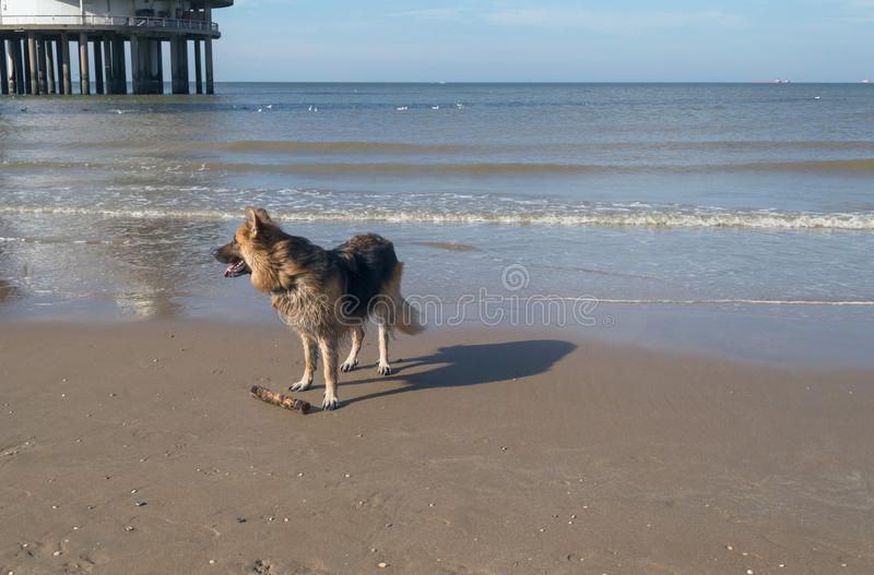 Profile of german shepherd on the beach royalty free stock photography
