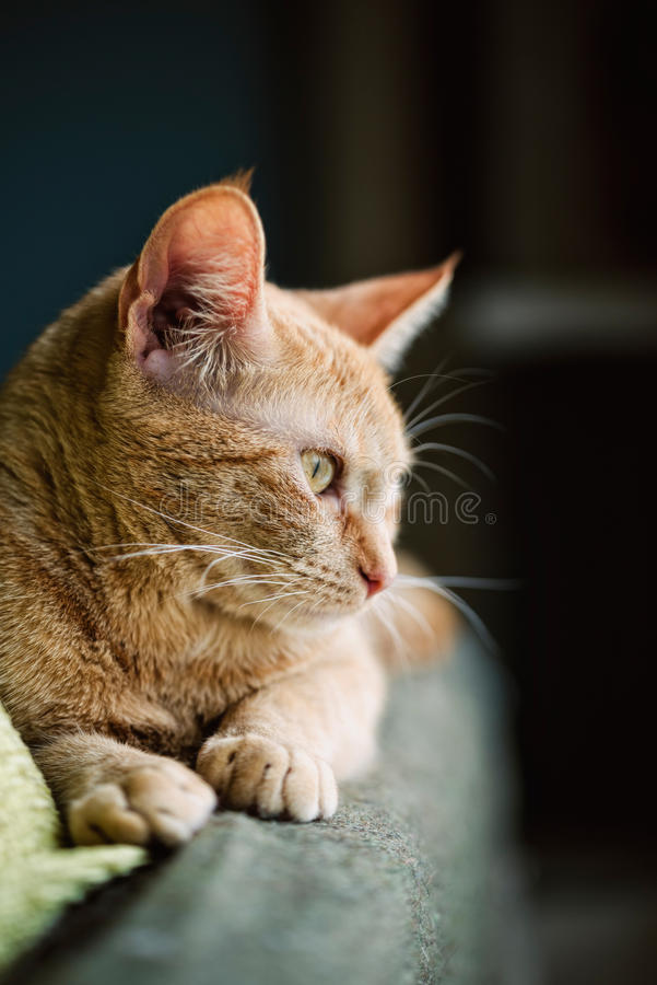 Profile of a ginger cat stock photo