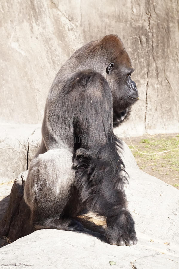 Profile of a Gorilla. Silver backed gorilla standing on its knuckles, on guard stock image
