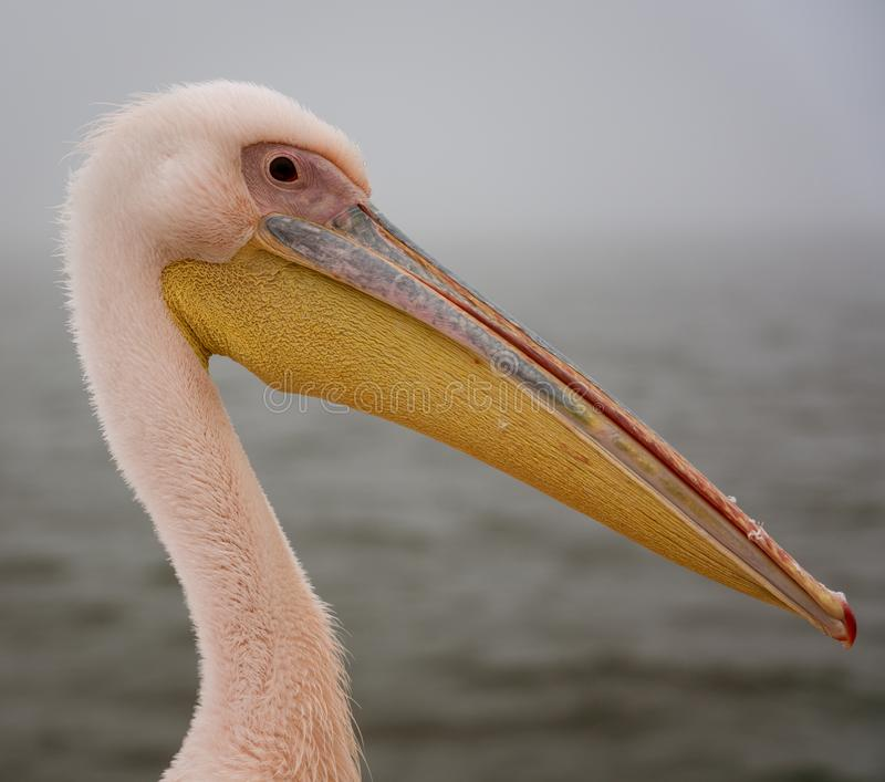 Profile of a Great White Pelican royalty free stock image