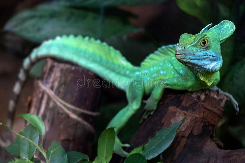 Green lizard standing on a piece of old wood and watching carefully in front of it. A dark green background. Profile of a green lizard up close. Green lizard stock photography