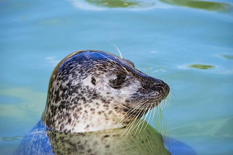 Profile Of A Grey Seal At Gweek royalty free stock images
