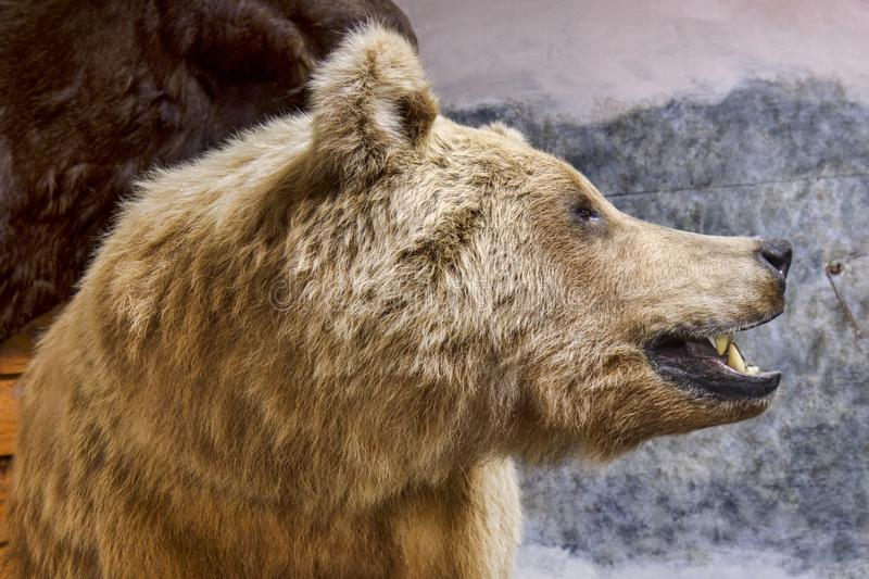 Profile Of A Grizzly Bear royalty free stock image