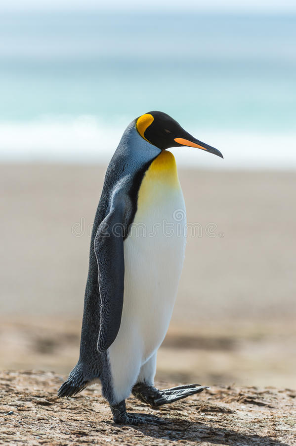 Download Profile of a KIng penguin. stock photo. Image of antarctica - 31775594