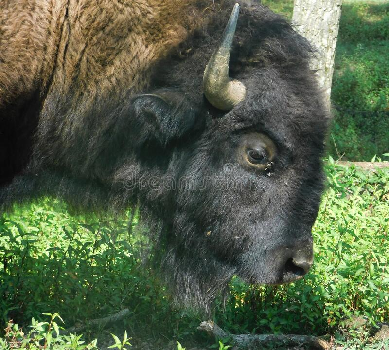 Profile of a large American Bison, Buffalo royalty free stock images