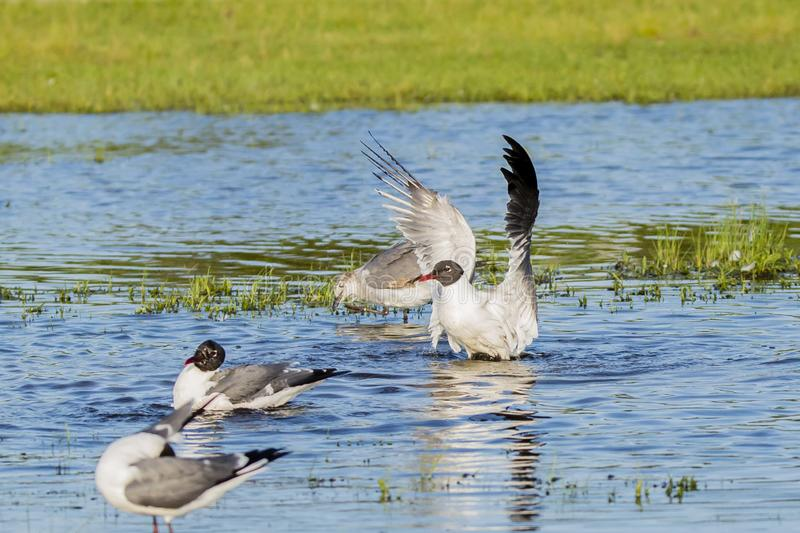 Profile of Laughing Gulls in Breeding Plumage Flapping. Making itself look bigger, this small gull extends it`s wings while standing in a blue pool of water near royalty free stock photo