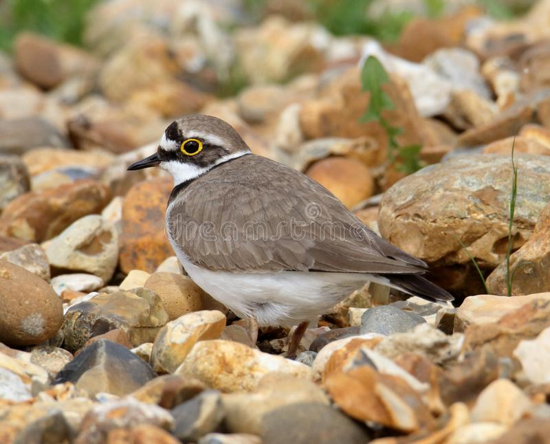 Profile Of A Little Ringed Plover stock images