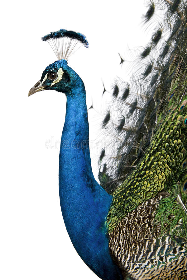 Profile of Male Indian Peafowl. In front of white background stock photo