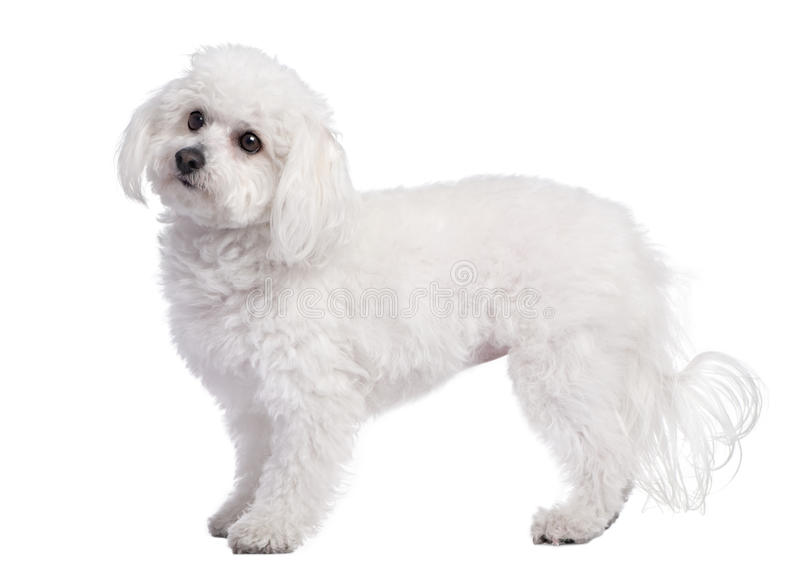 Profile of a maltese dog (4 years old) stock images