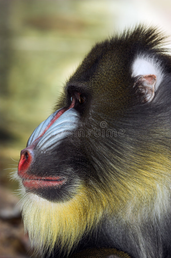 Profile of Mandrill's face. And jaw stock images