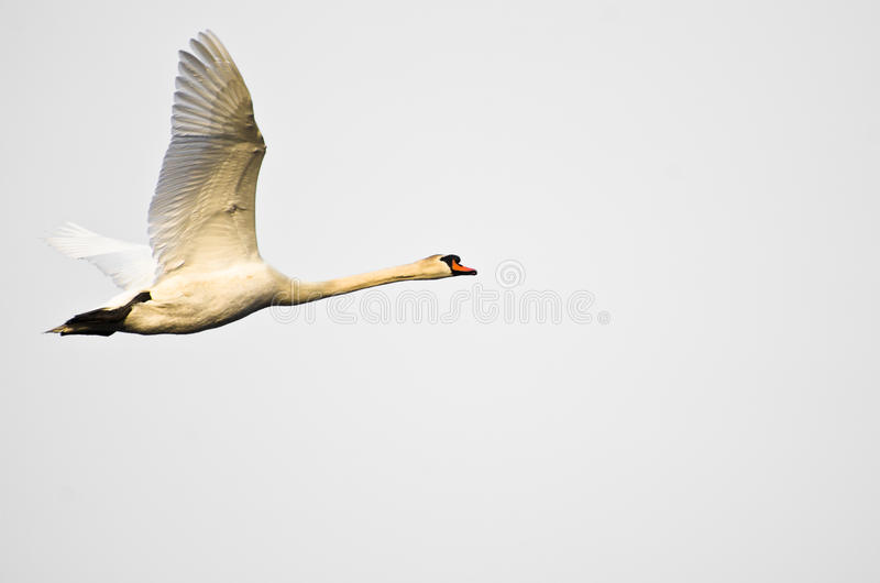Mute Swan Flying on White Background stock images
