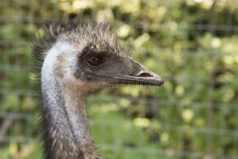 Profile of ostrich stock photo