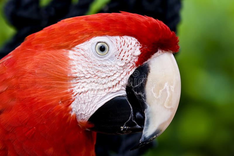 Profile of a parrot Scarlet Macaw (Ara macao). Profile of a colorful parrot, a Scarlet Macaw (Ara macao royalty free stock photos
