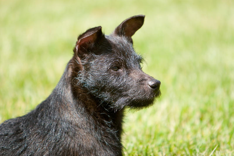 Profile of Patterdale terrier head royalty free stock photo