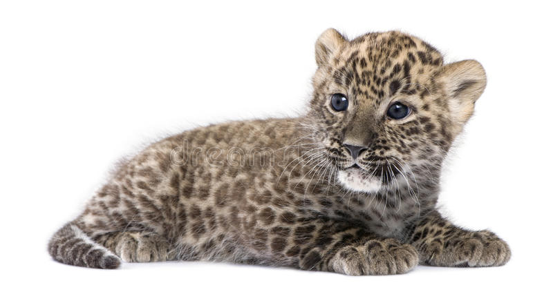 Profile of a Persian leopard Cub lying down (6 wee. Ks) in front of a white background stock photo