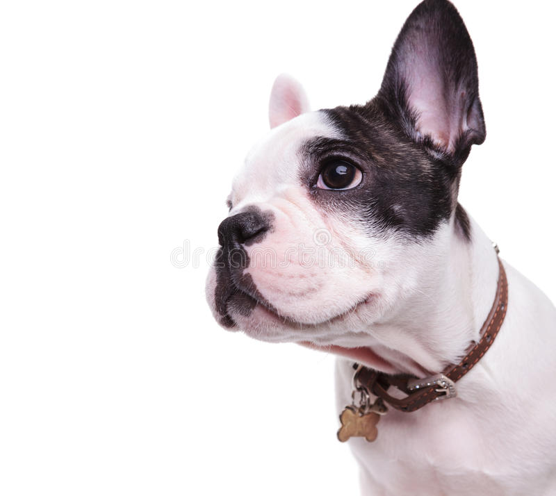 Profile picture of a cute french bulldog looking to side. Wearing a name tag on collar on white background royalty free stock photo
