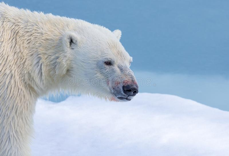 Profile of polar bear near Svalbard, Norway. In spring stock photography