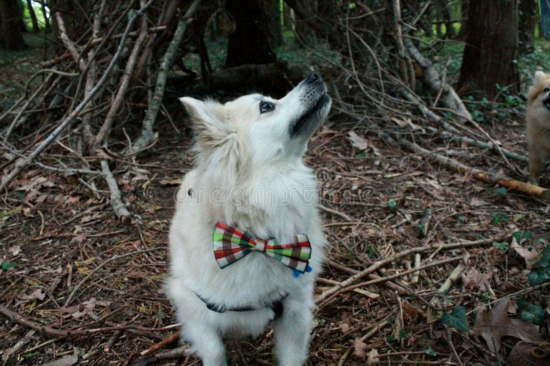 Pomeranian with bow tie in woods royalty free stock images