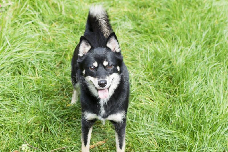 Dog - Pomsky. Profile of a pomsky - husky and Pomeranian cross breed. Black, white and tan in colour royalty free stock photography