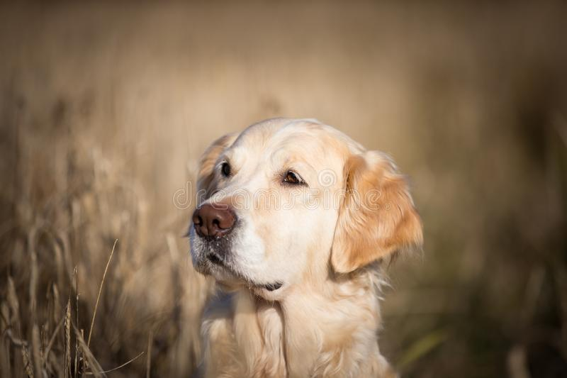 Profile portrait of adorable beige dog breed golden retriever sitting in the withered rye field in autumn royalty free stock photography