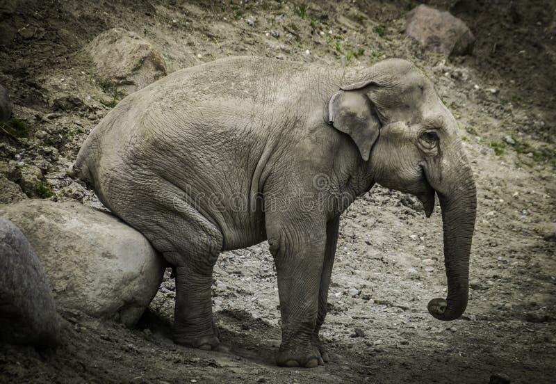 Elephant sitting on boulder stock photography