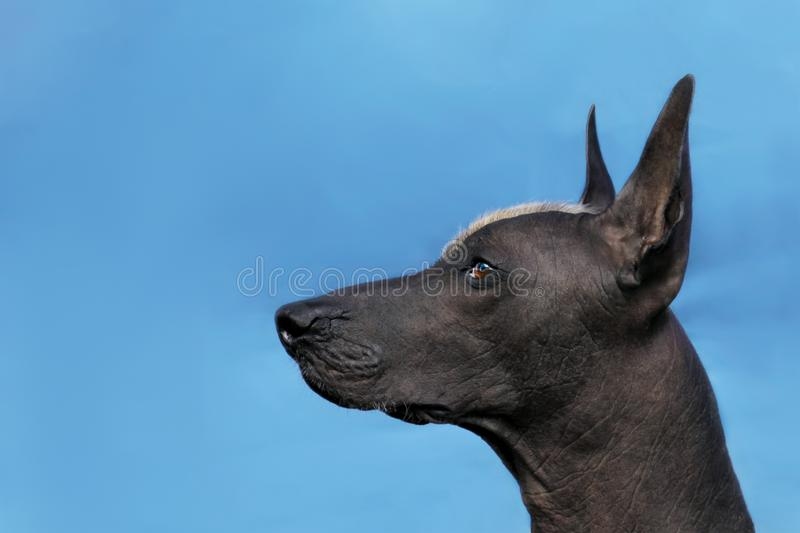 Profile portrait of adult Xolotizcuintle dog Mexican Hairless, male standard size. Beautiful dog with red mohawk on the head, harsh attentive look. Blue royalty free stock photography