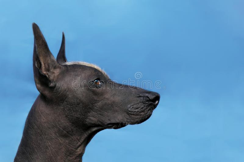 Profile portrait of adult Xolotizcuintle dog Mexican Hairless, male standard size. Beautiful dog with red mohawk on the head, harsh attentive look. Blue stock photos