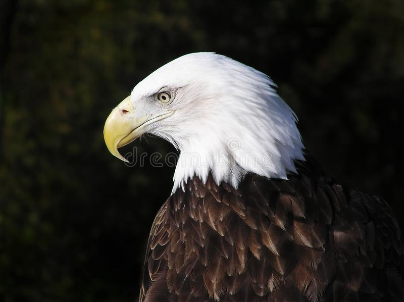 Profile portrait of an American Bald Eagle stock photos