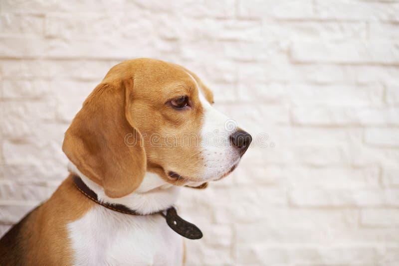 Profile portrait of beagle dog stock photo