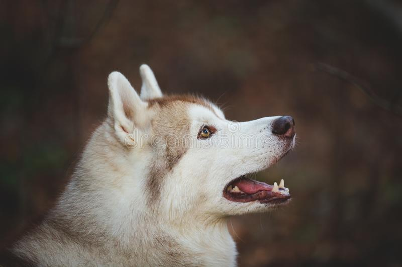 Profile Portrait of beautiful attentive siberian Husky dog standing in the bright autumn forest. Profile Portrait of beautiful and happy beige and white siberian royalty free stock photos