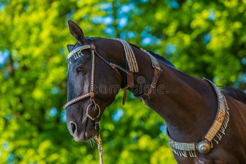 In profile portrait of beautiful dark brown akhal teke horse royalty free stock photos