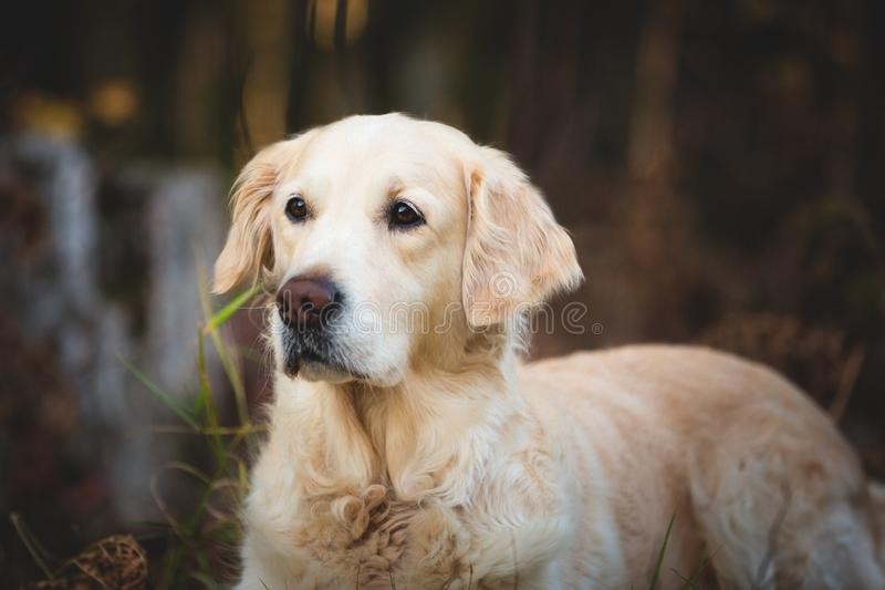 Close-up portrait of beautiful and friendly dog breed golden retriever lying in the autumn forest. Profile portrait of beautiful and friendly dog breed golden royalty free stock image