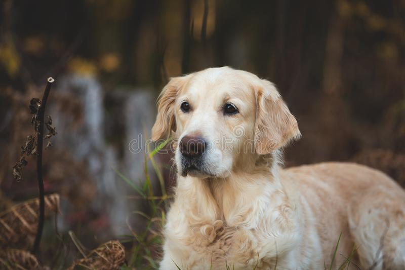 Close-up portrait of beautiful and friendly dog breed golden retriever lying in the autumn forest. Profile portrait of beautiful and friendly dog breed golden stock images