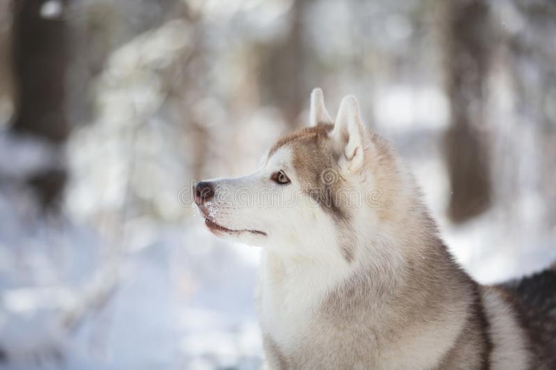 Profile Portrait of gorgeous, prideful and free Siberian Husky dog sitting on the snow in the fairy forest in winter royalty free stock photos